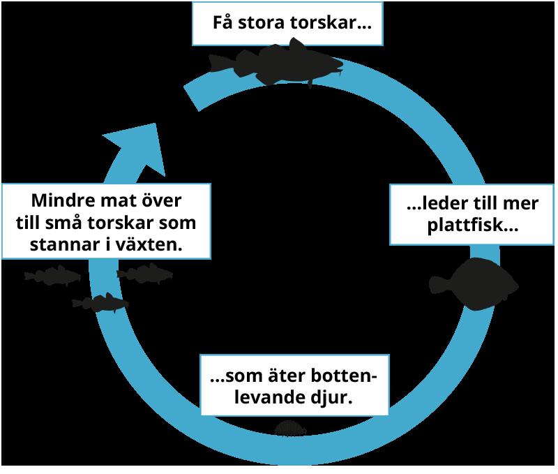 Stora torskar viktiga för balansen i Östersjön